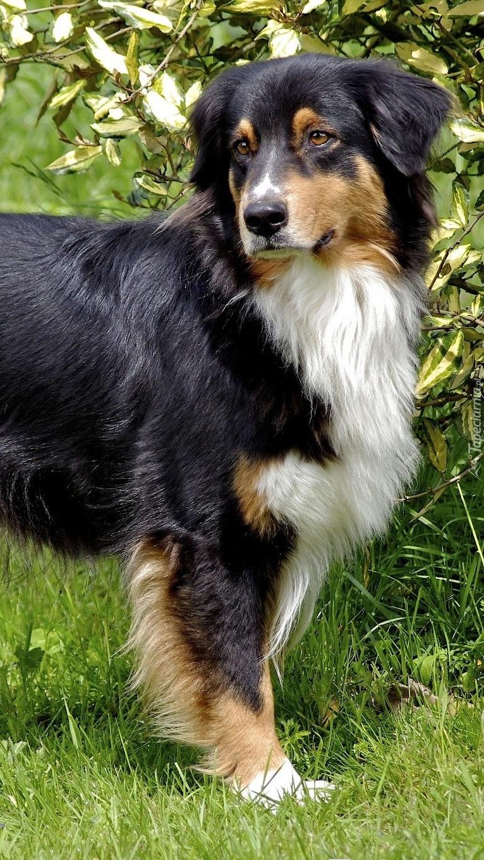 Pies stoi na trawie