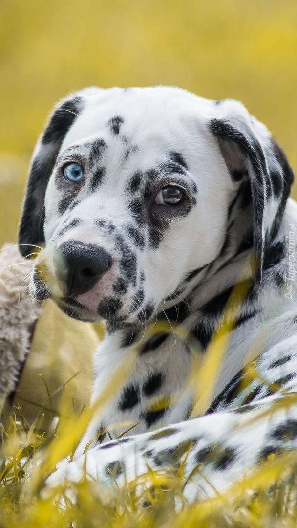 Pies w kropeczki