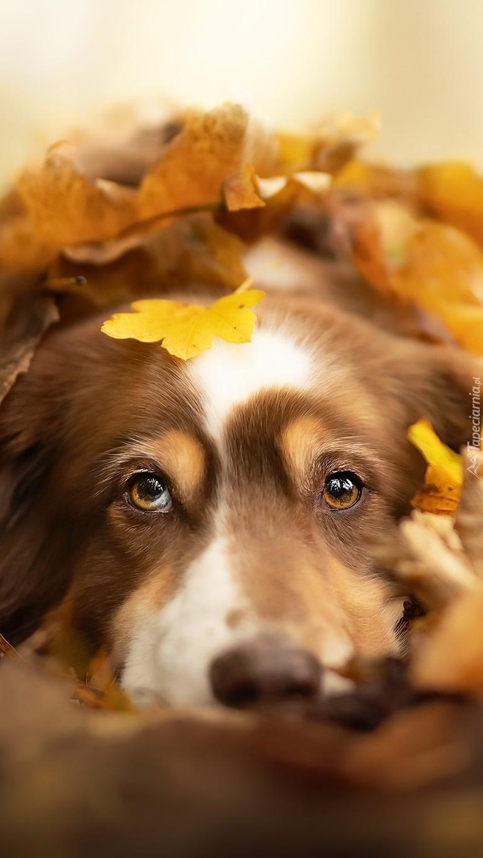 Pies wśród jesiennych liści