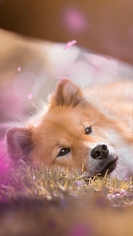 Pies wylegujący się na trawie