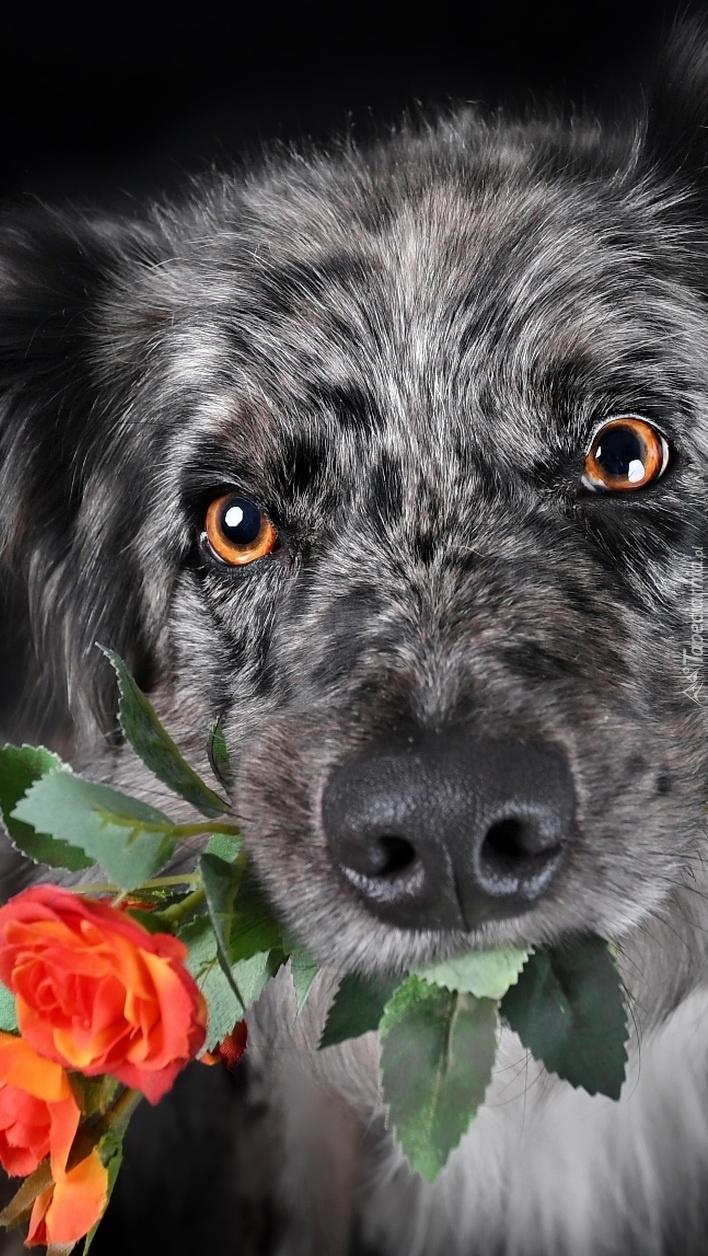 Pies z różą w mordce