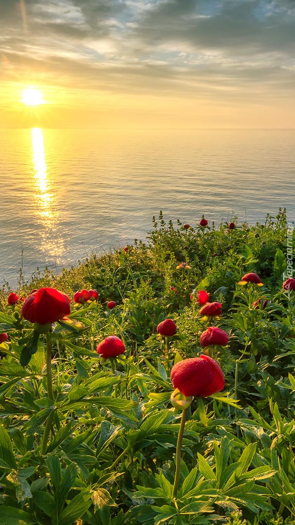 Piwonie na wzgórzu z widokiem na morze