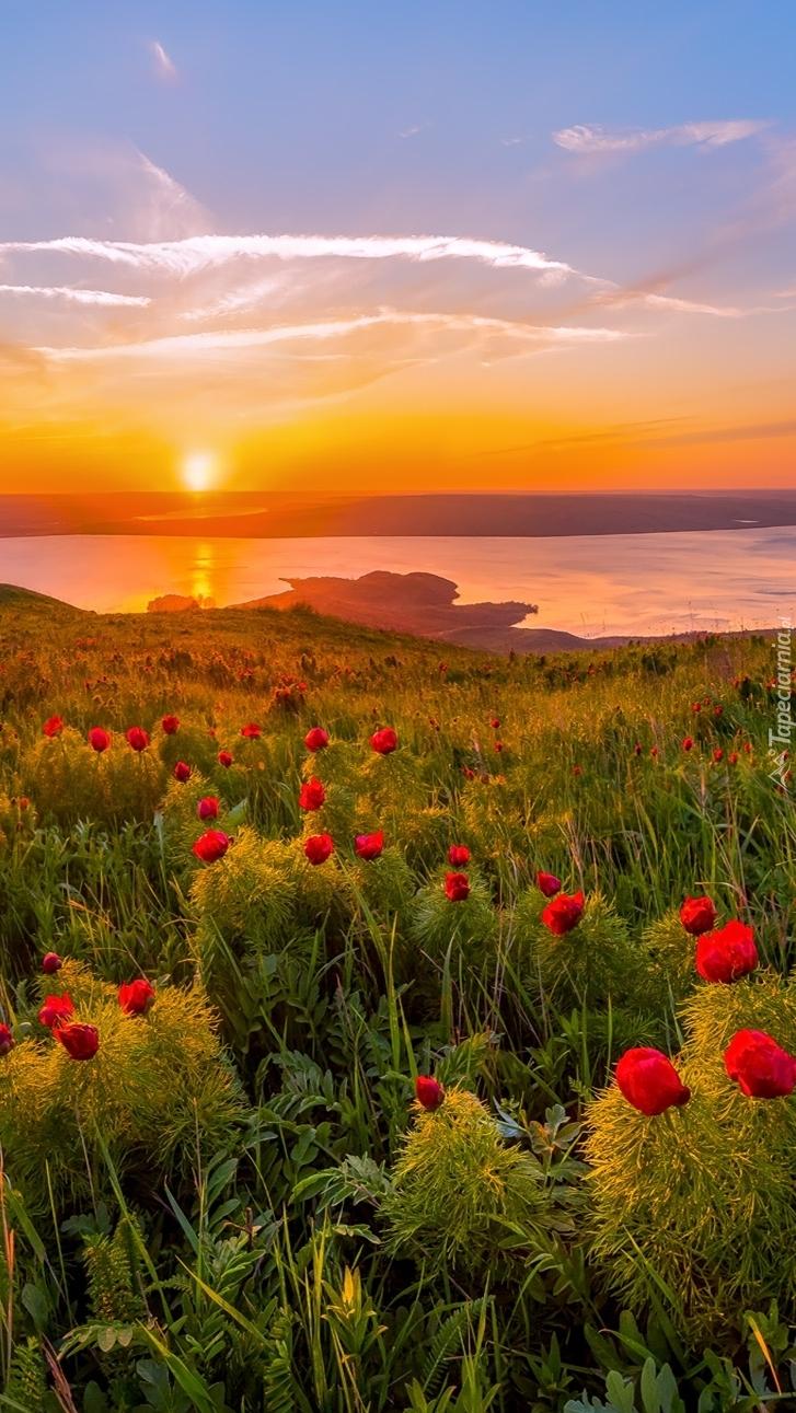 Piwonie w promieniach wschodzącego słońca