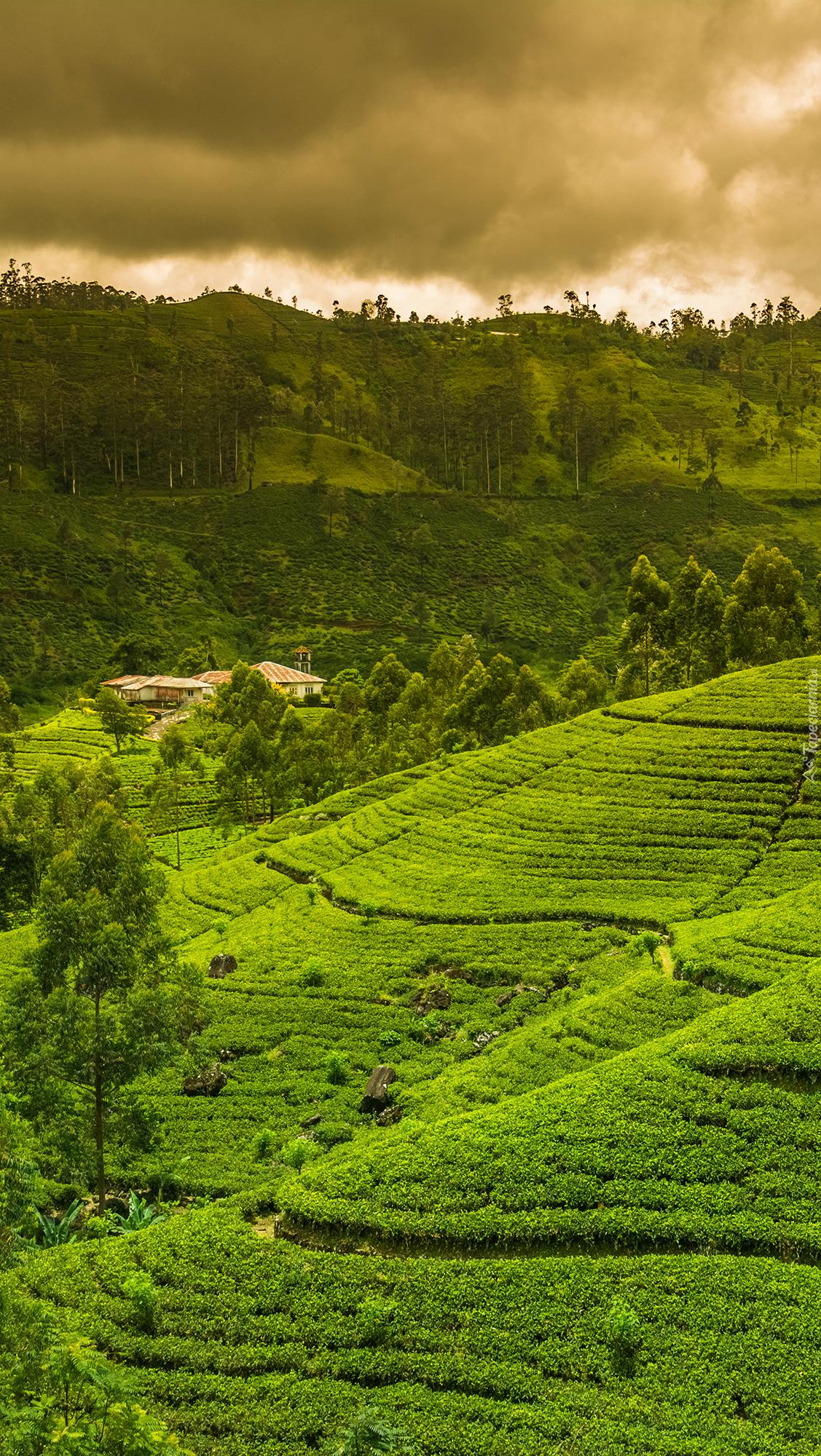 Plantacja herbaty na wzgórzach w Sir Lance