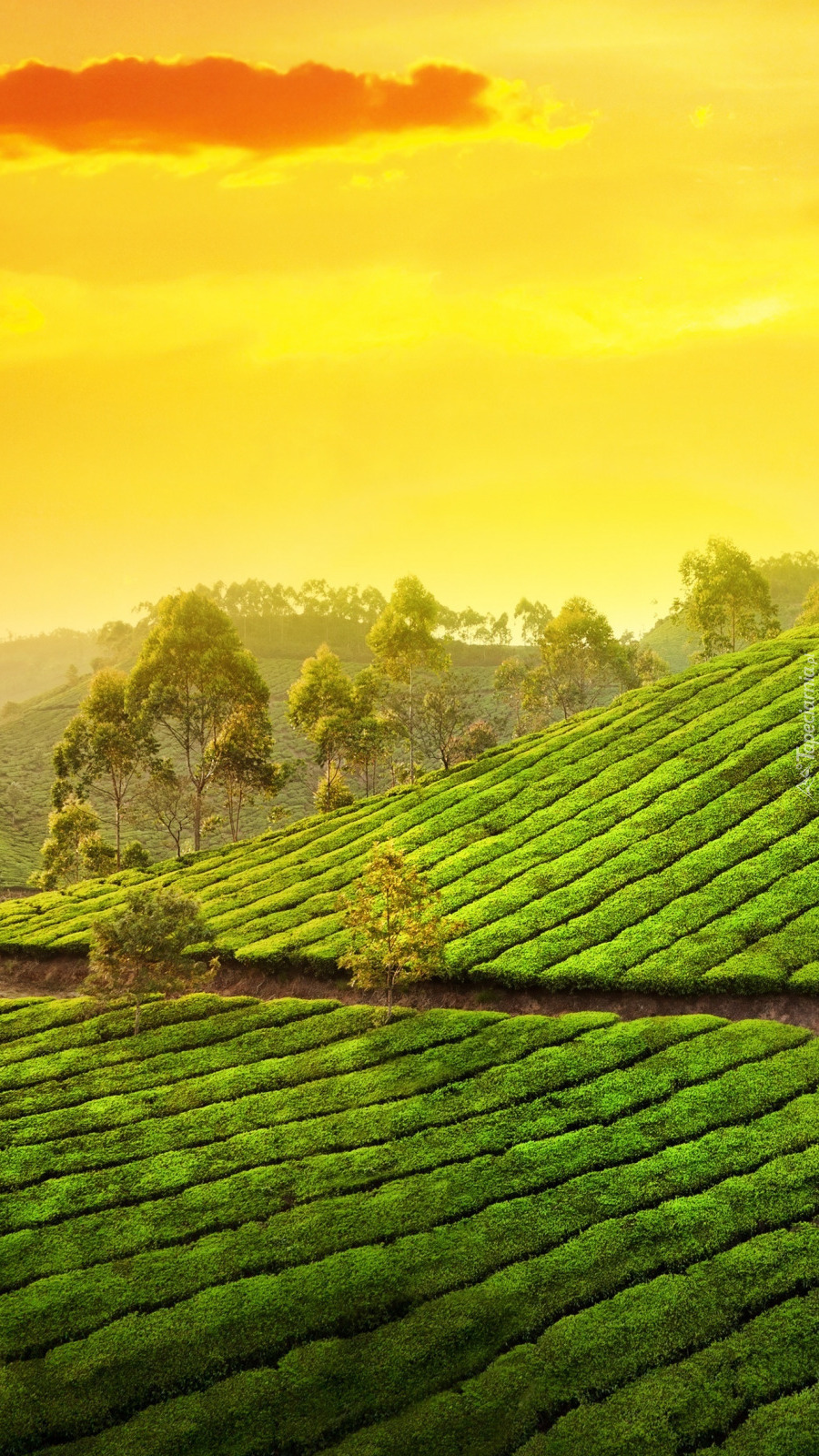 Plantacja herbaty w Indiach