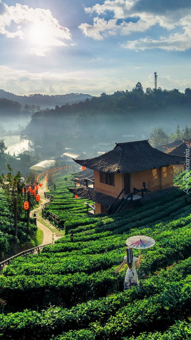 Plantacja herbaty w Tajlandii