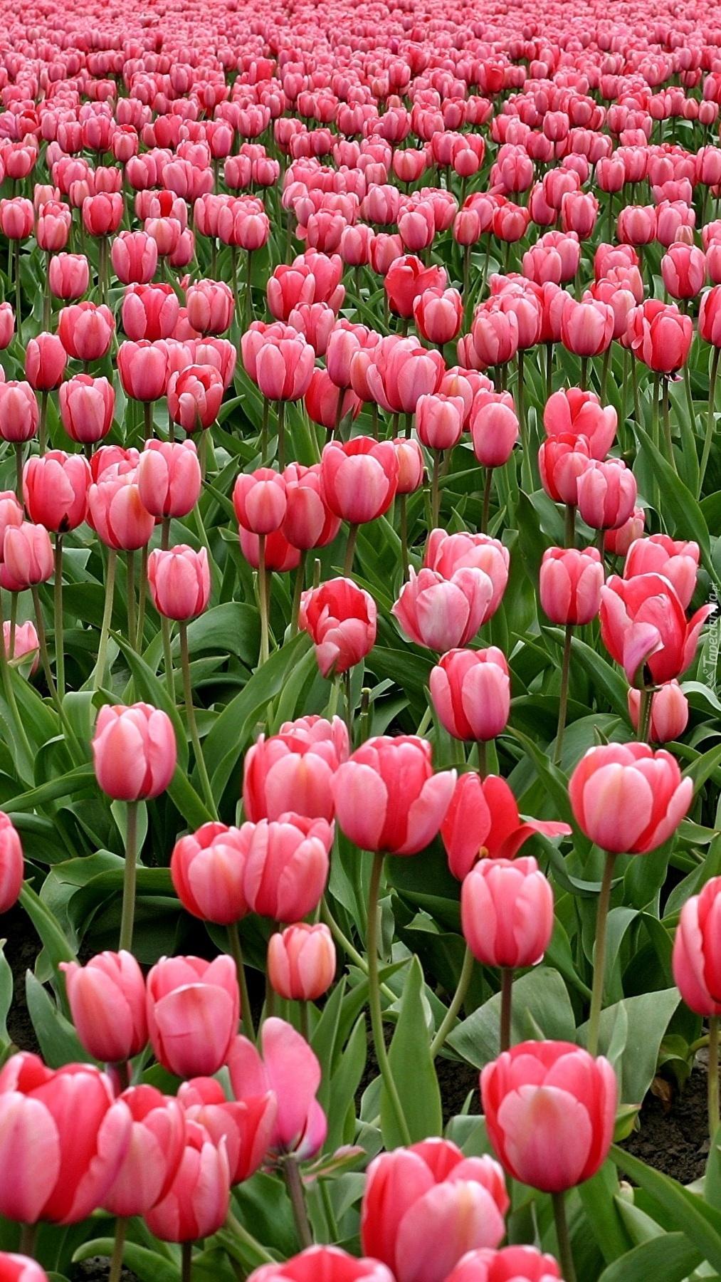 Plantacja różowych tulipanów