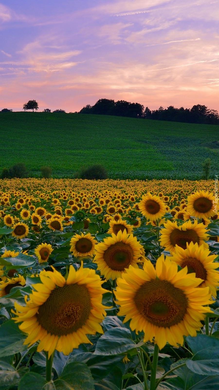 Plantacja słoneczników