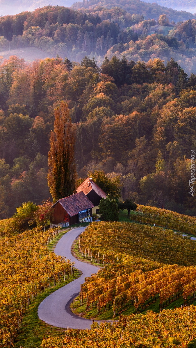 Plantacja winogron we wsi Spicnik