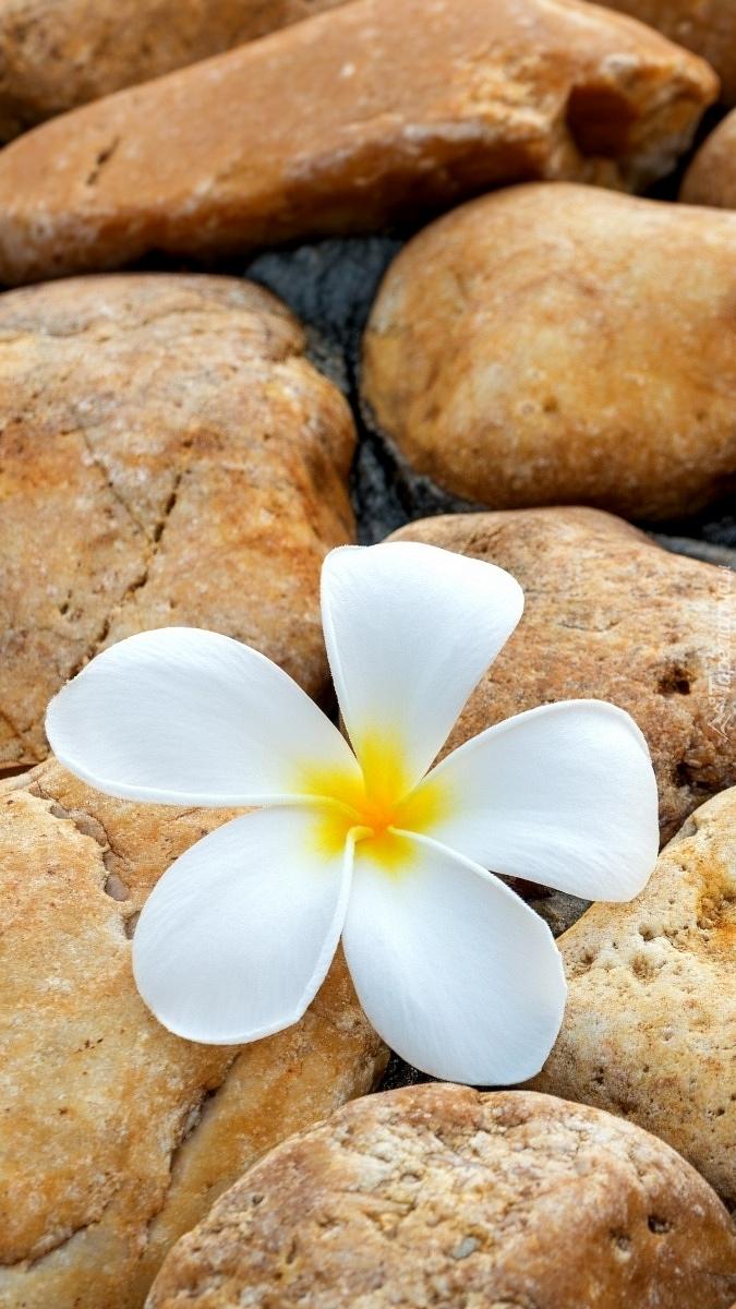 Plumeria na kamieniu