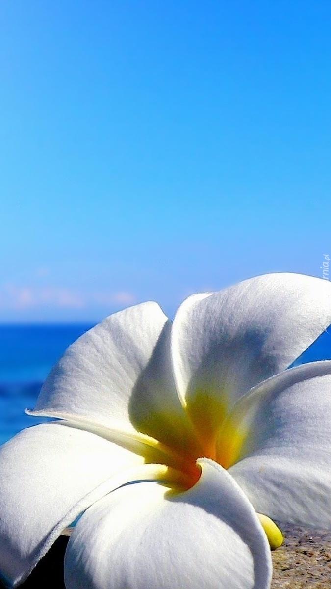 Plumeria na plaży