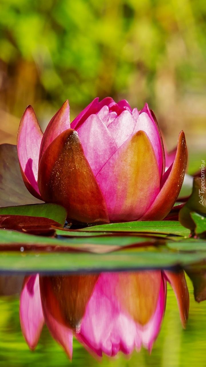 Pływająca lilia wodna