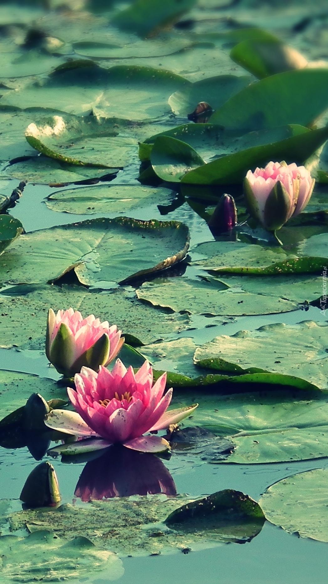Pływające lilie