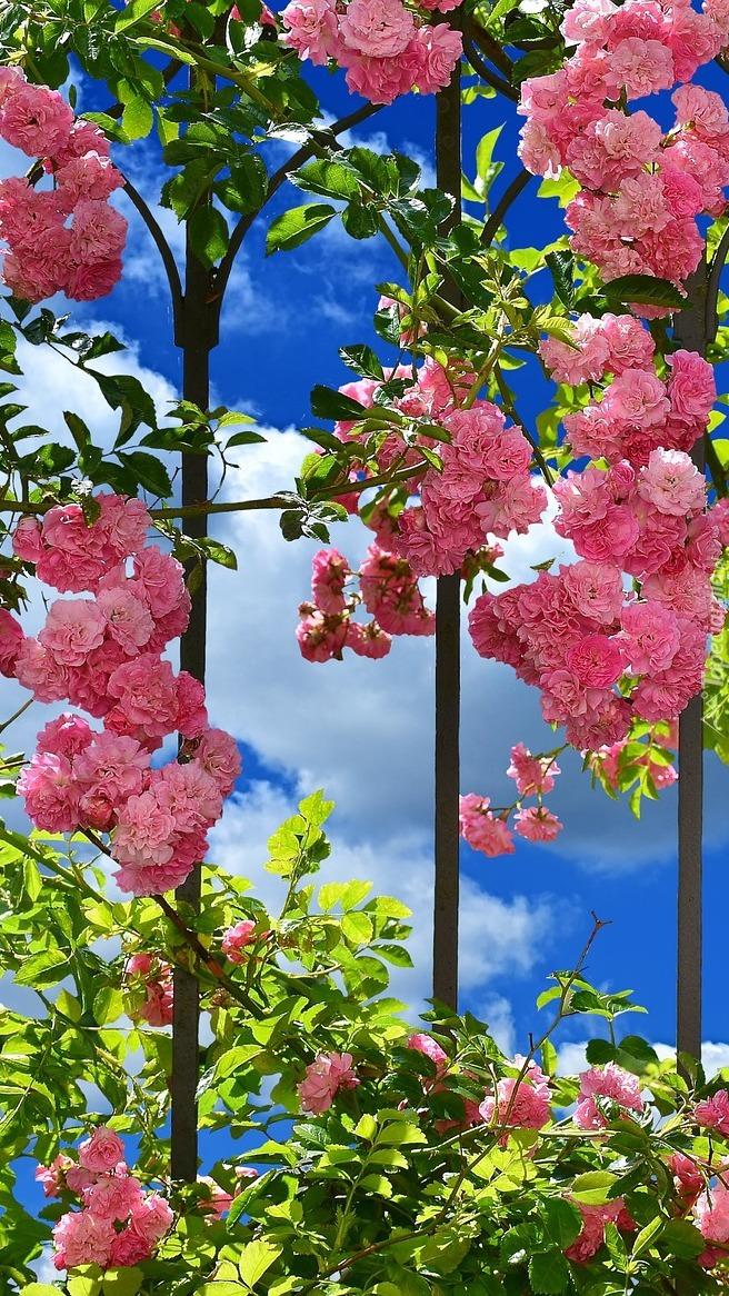 Pnące róże na ogrodzeniu