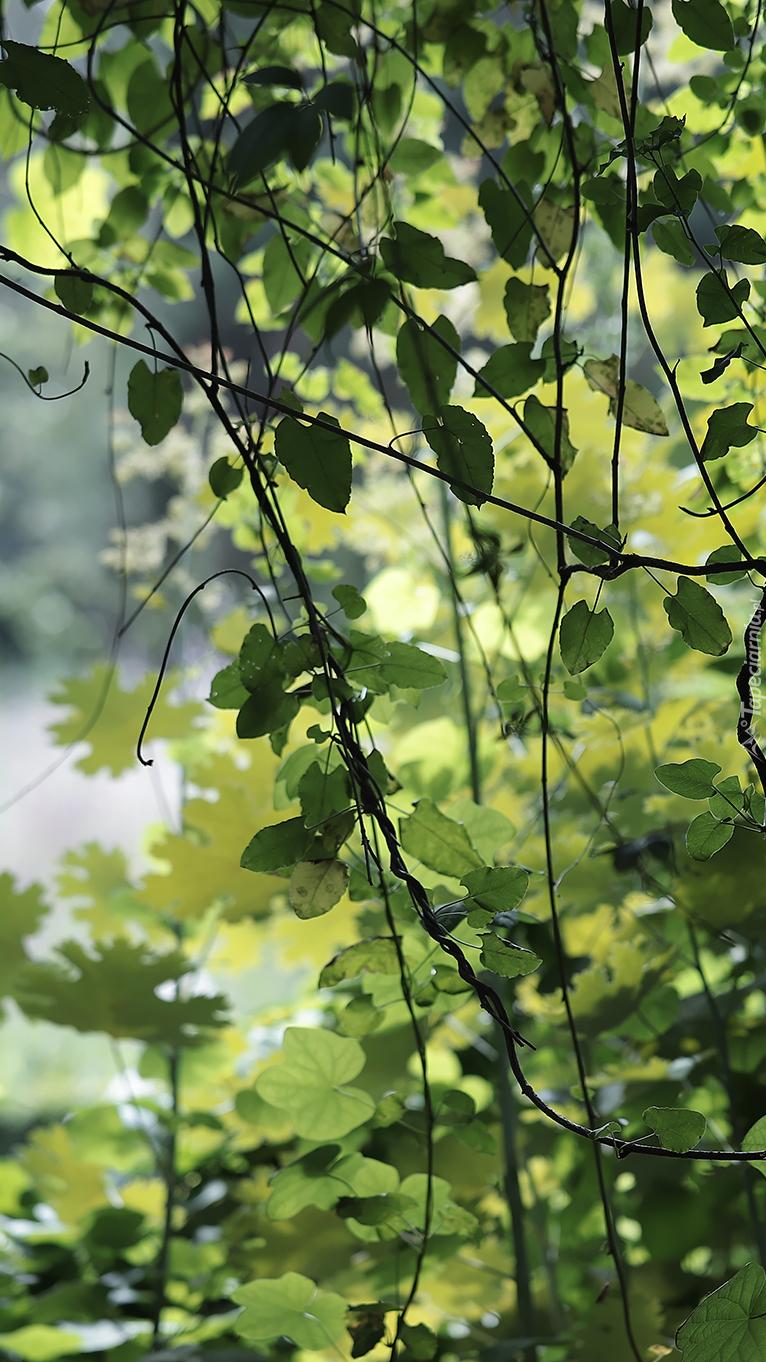 Pnącza zielonych liści