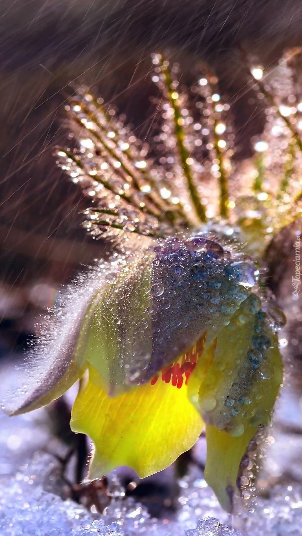 Pokropiona deszczem sasanka