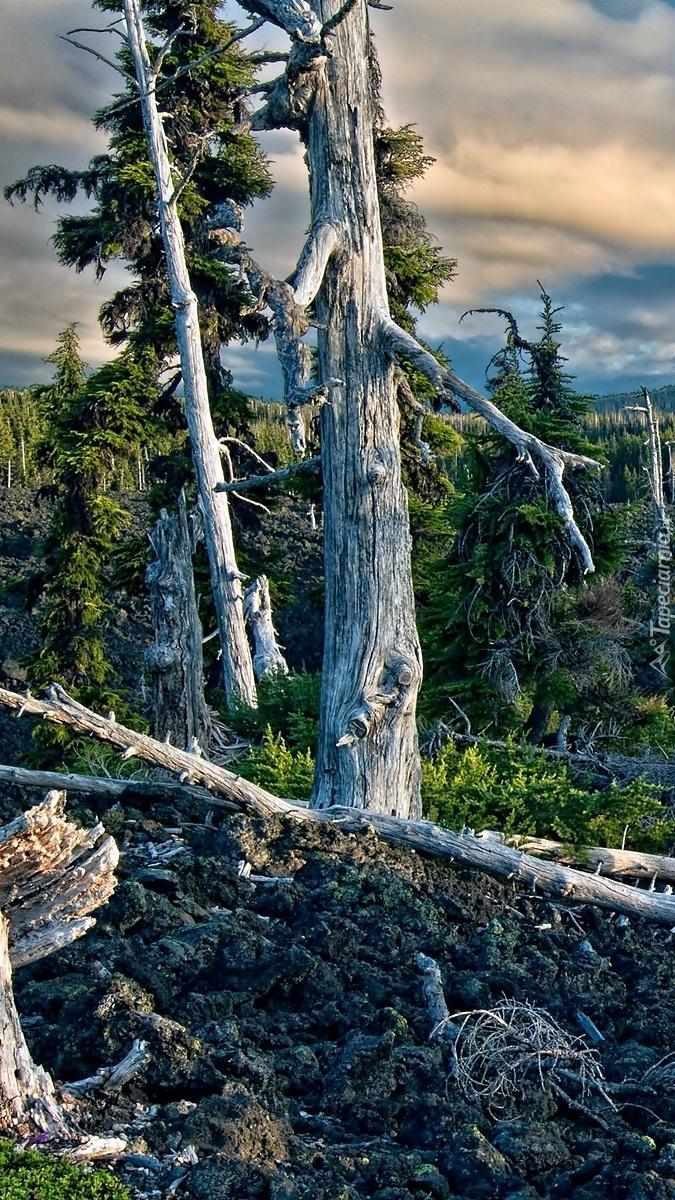 Połamane drzewa w lesie