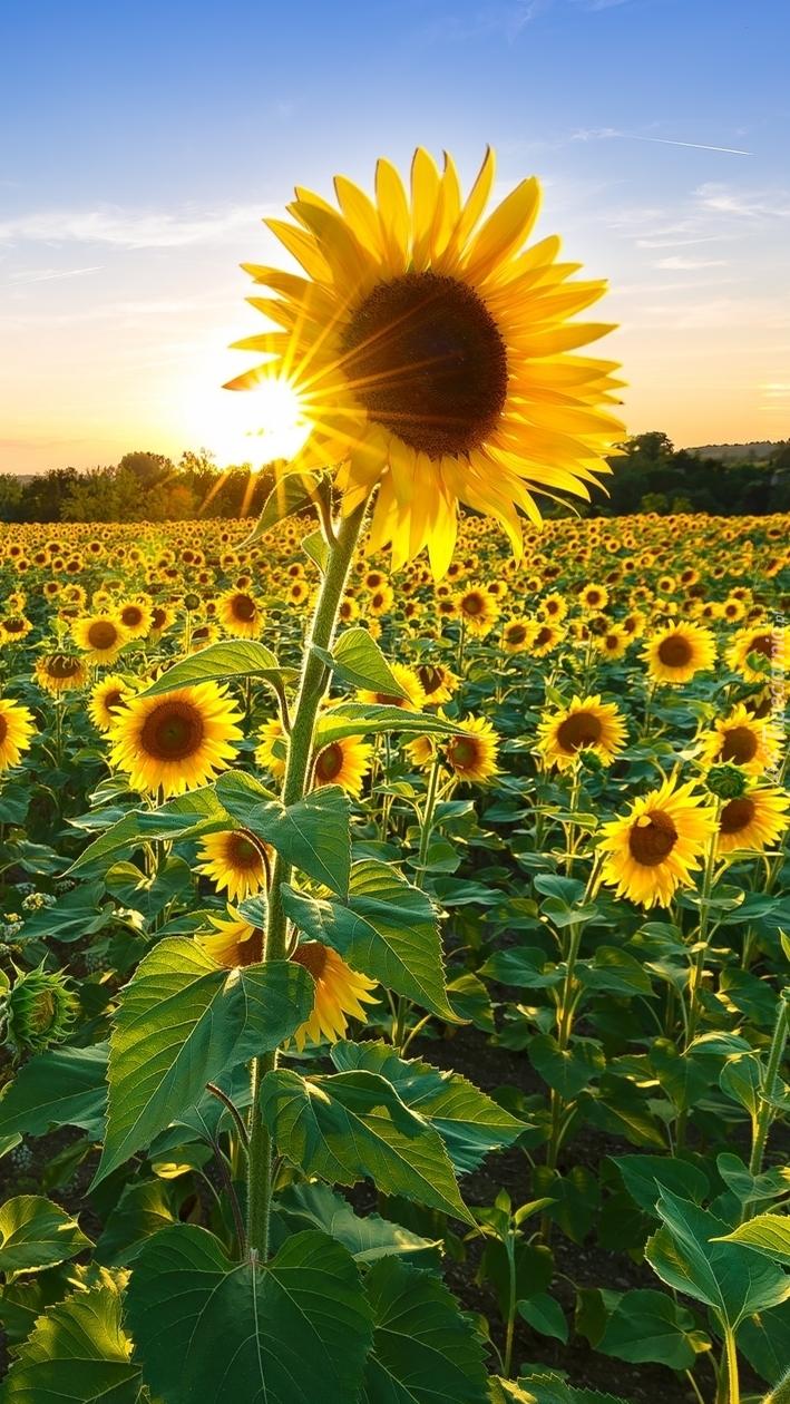 Pole słoneczników w słońcu