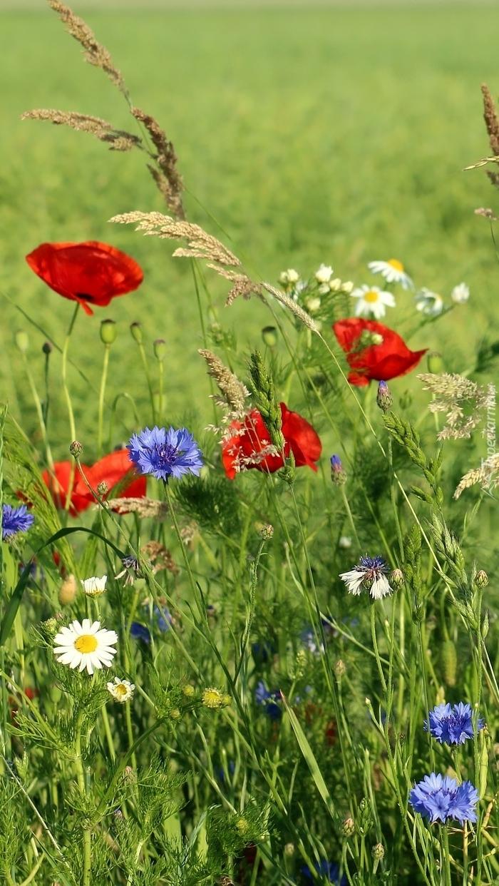 Polne kwiaty na łące