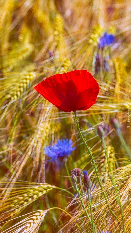 Polne kwiaty w zbożu