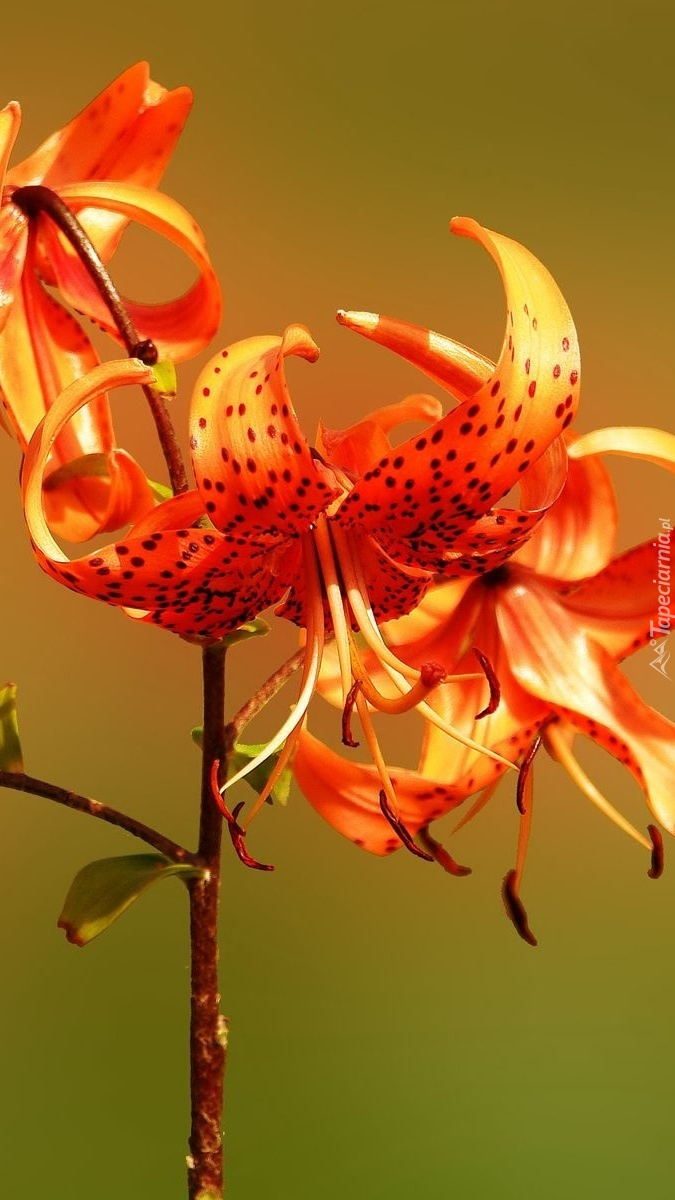 Pomaranczowa lilia tygrysia