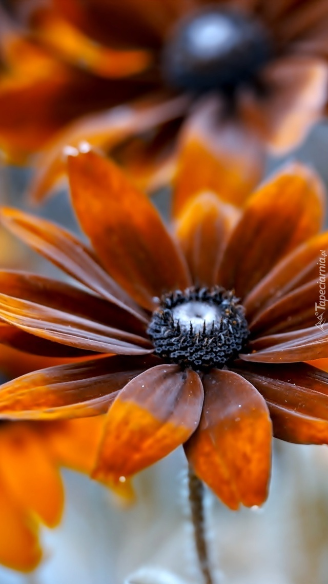 Pomarańczowa rudbekia