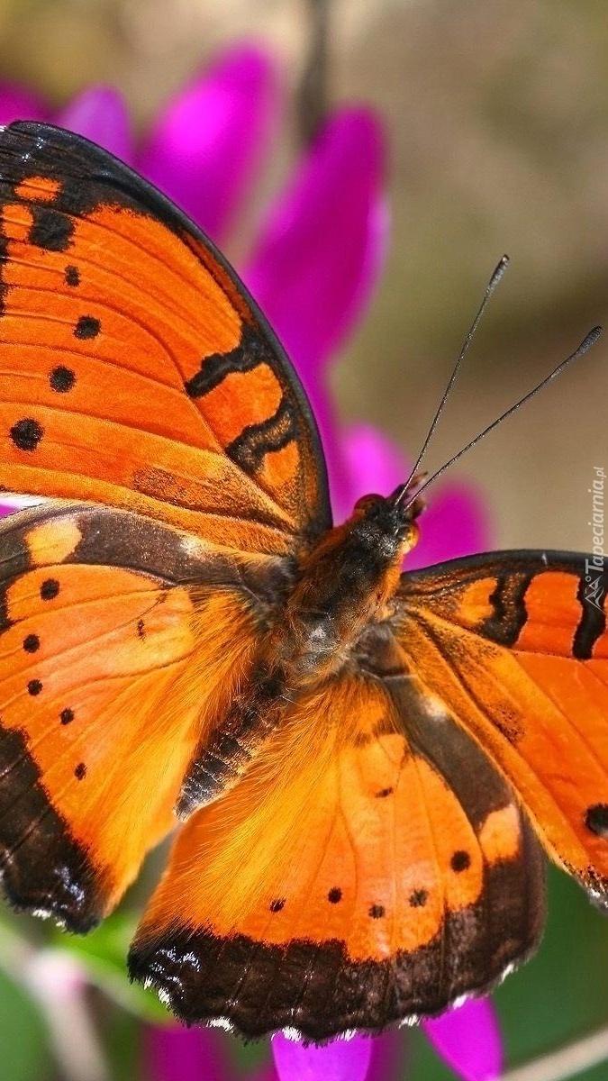 Pomarańczowo-czarny motyl