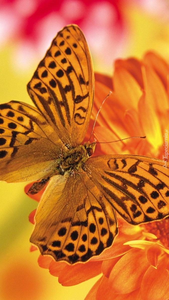 Pomarańczowy motyl na gerberze