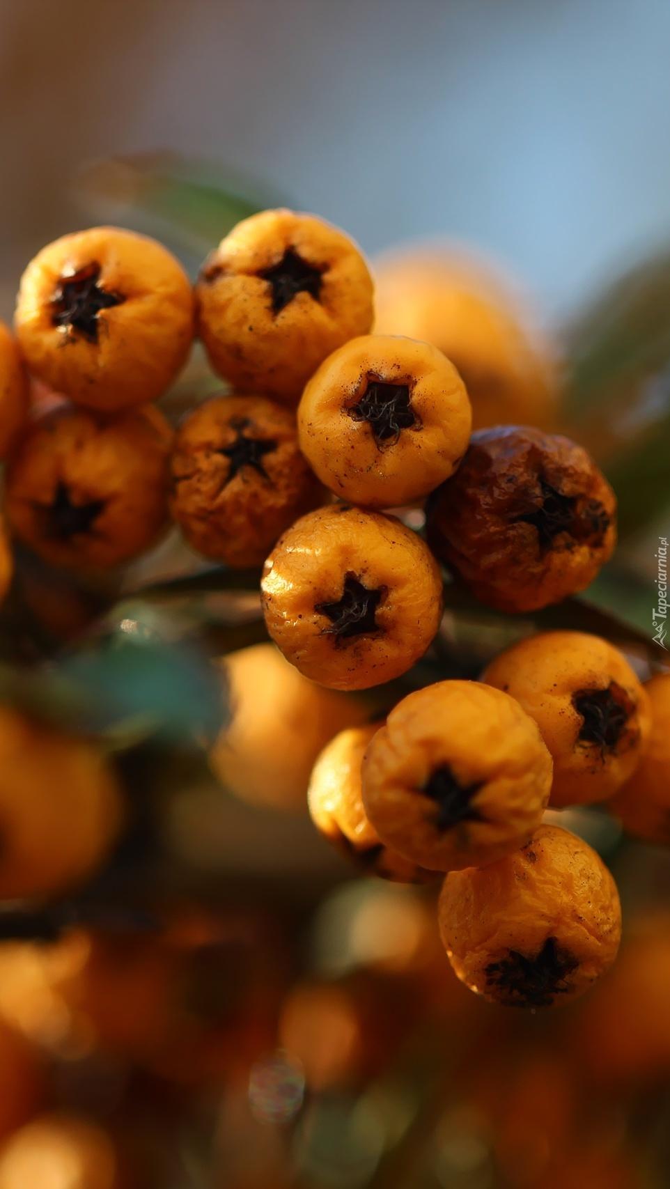 Pomarszczone owoce ognika szkarłatnego