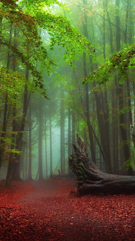Powalone drzewo na leśnej drodze