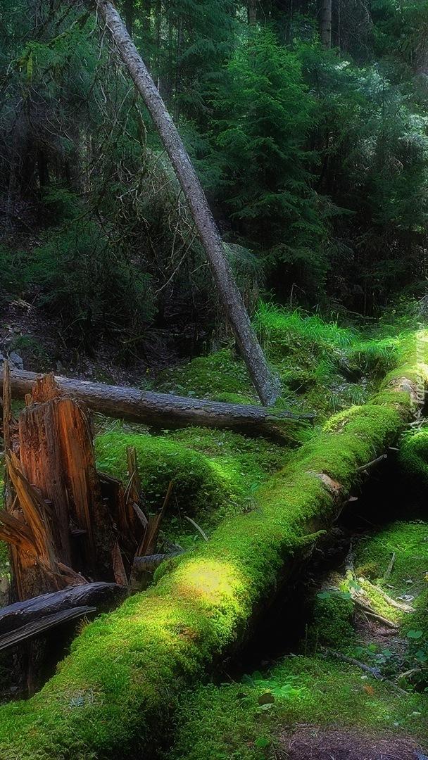 Powalone omszałe drzewa