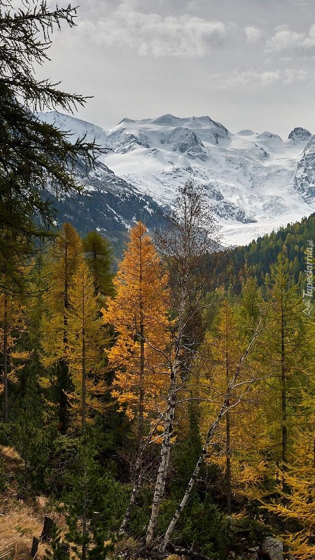 Pożółkłe drzewa na tle ośnieżonych gór
