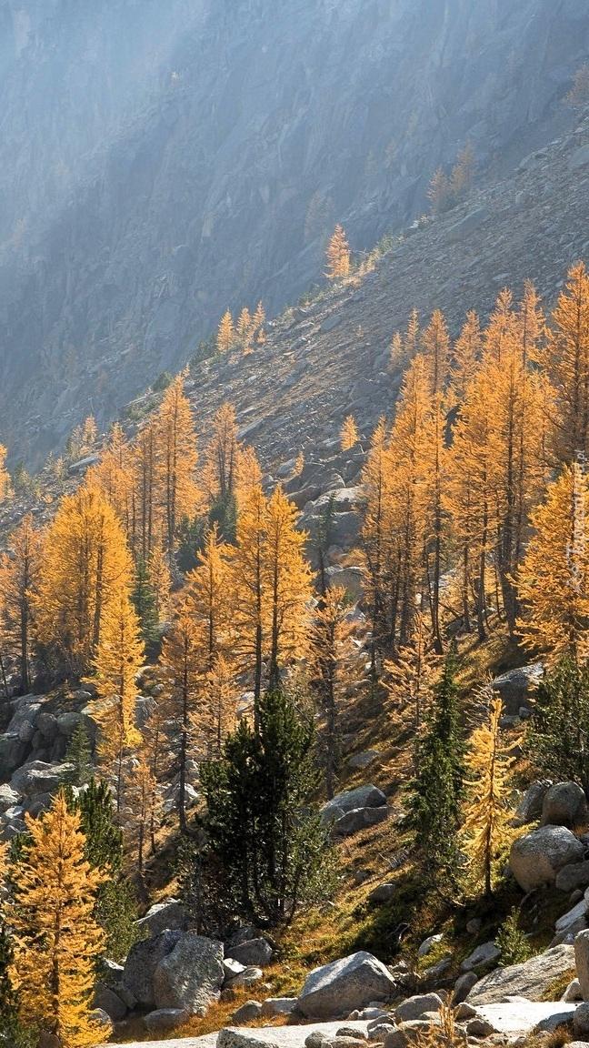 Pożółkłe drzewa na zboczu góry