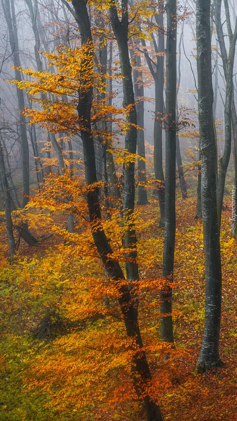 Pożółkłe drzewa w lesie