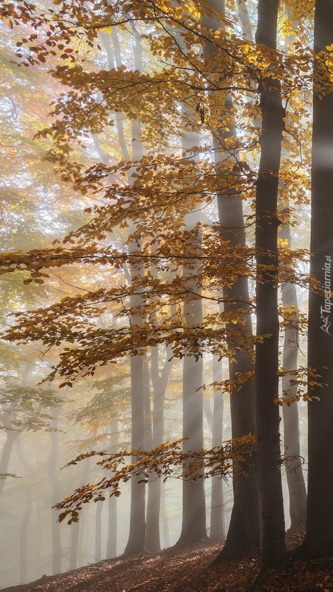 Pożółkłe drzewa w zamglonym lesie