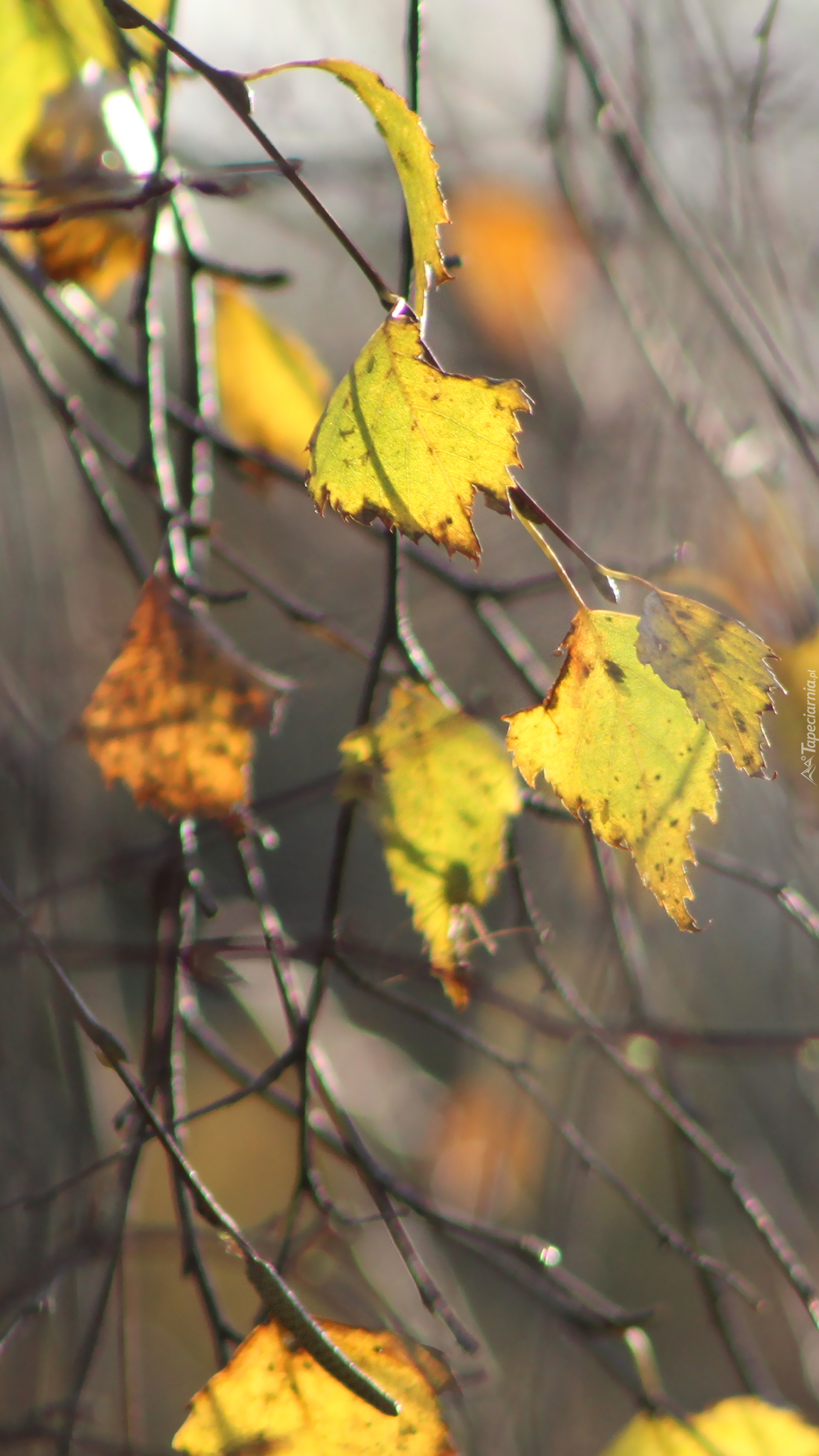 Pożółkłe liście brzozy