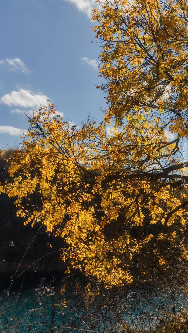 Pożółkłe liście na drzewie