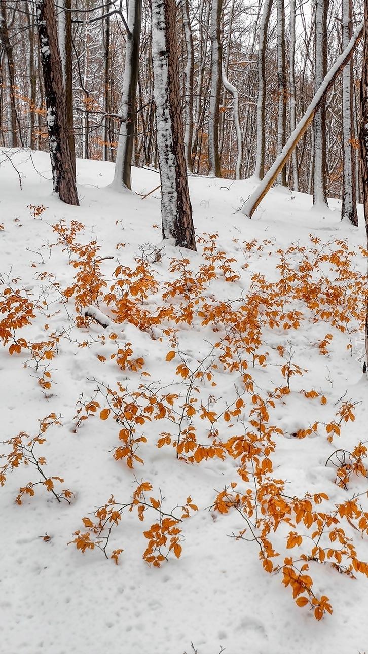 Pożółkłe liście na śniegu