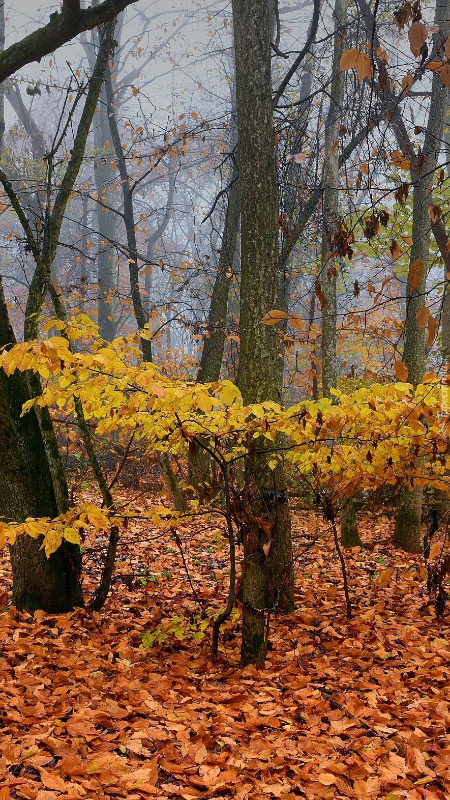 Pożółkłe liście wokół drzew