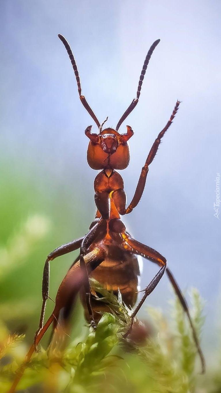Pracowita mrówka