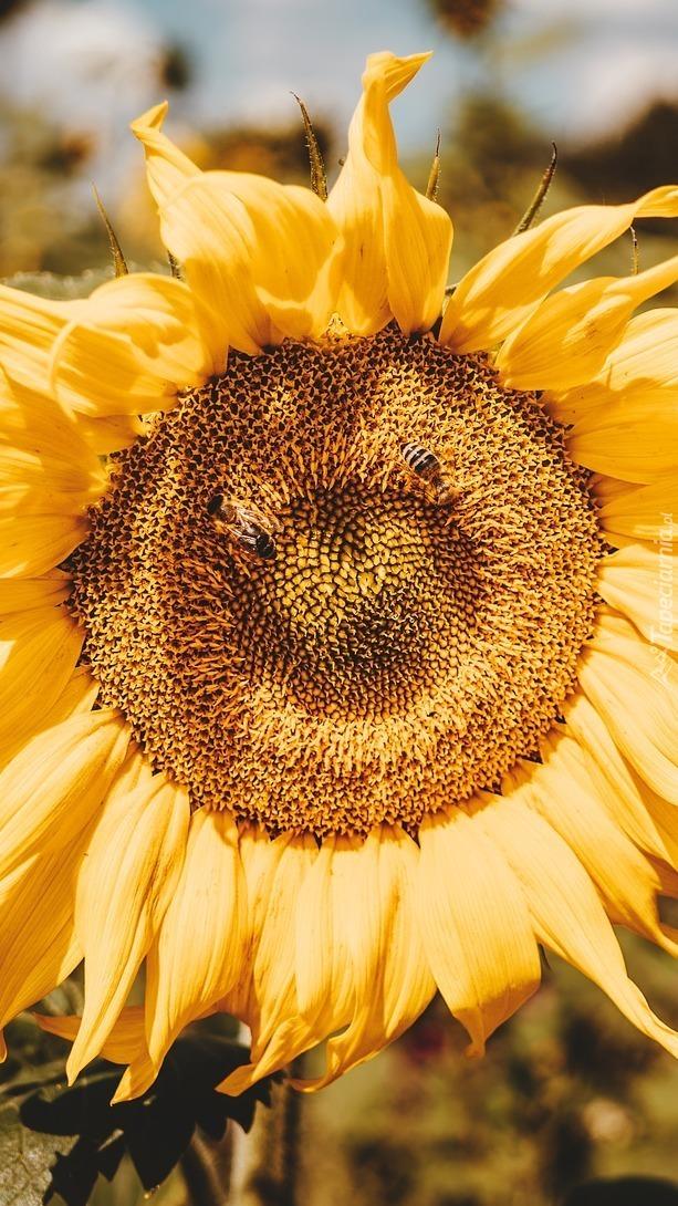 Pracowite pszczółki na słoneczniku