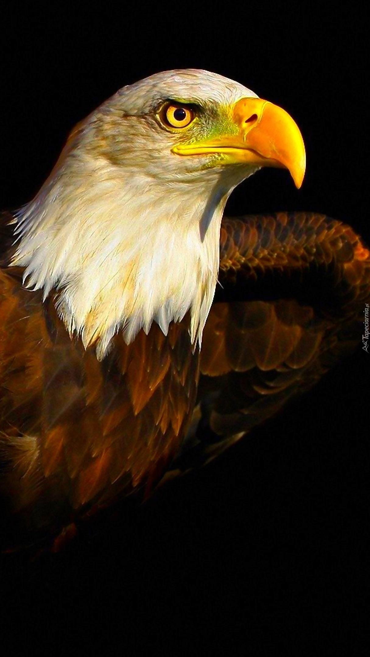 Profil bielika amerykańskiego