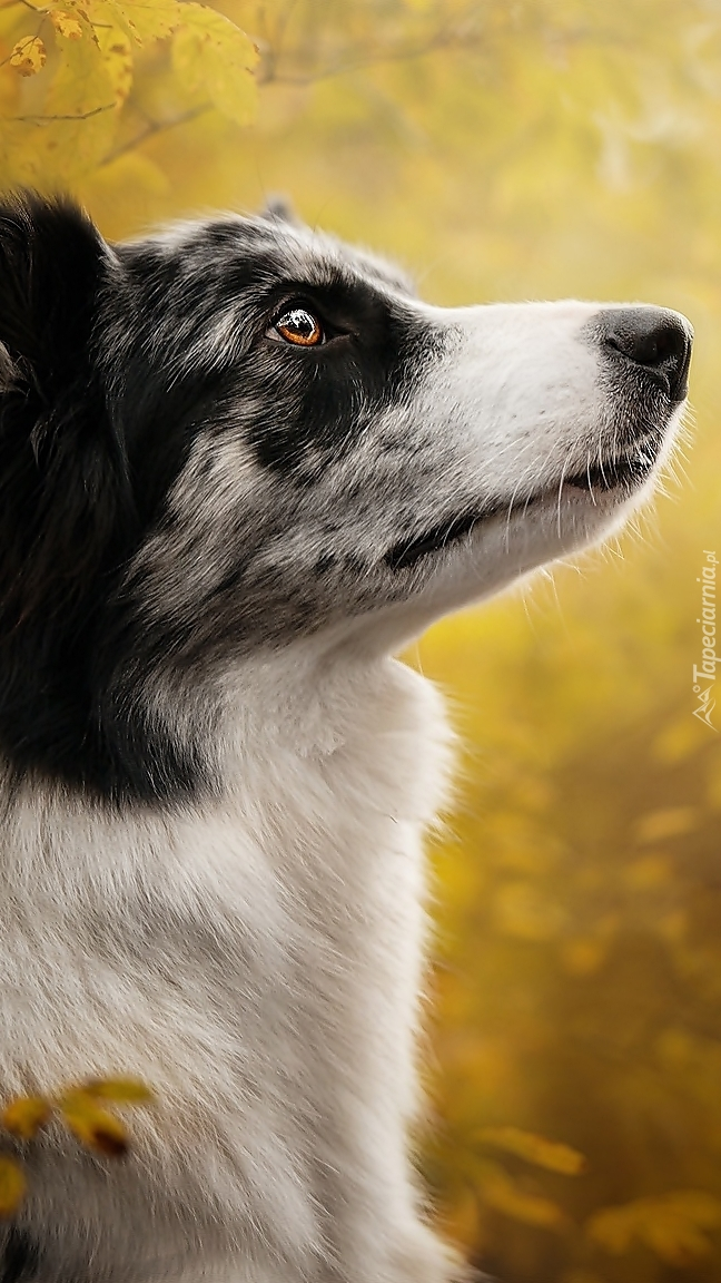 Profil border collie