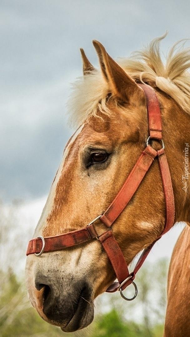 Profil konia z jasną grzywą