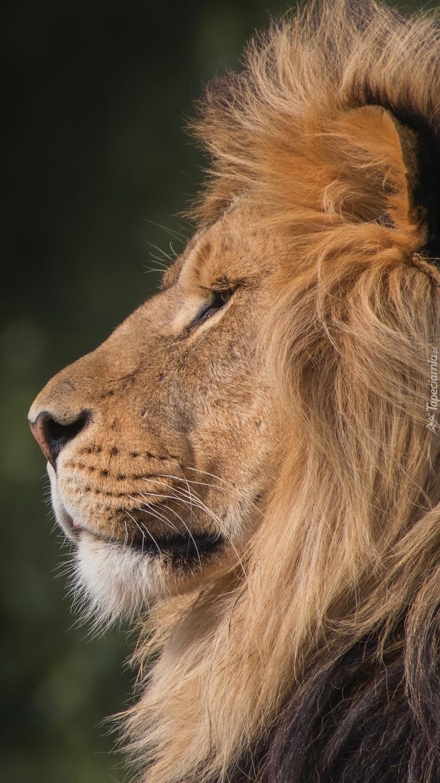 Profil lwa