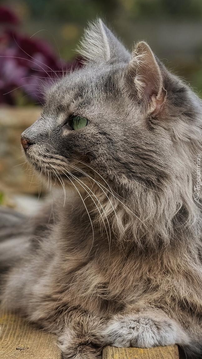 Profil szarego kota