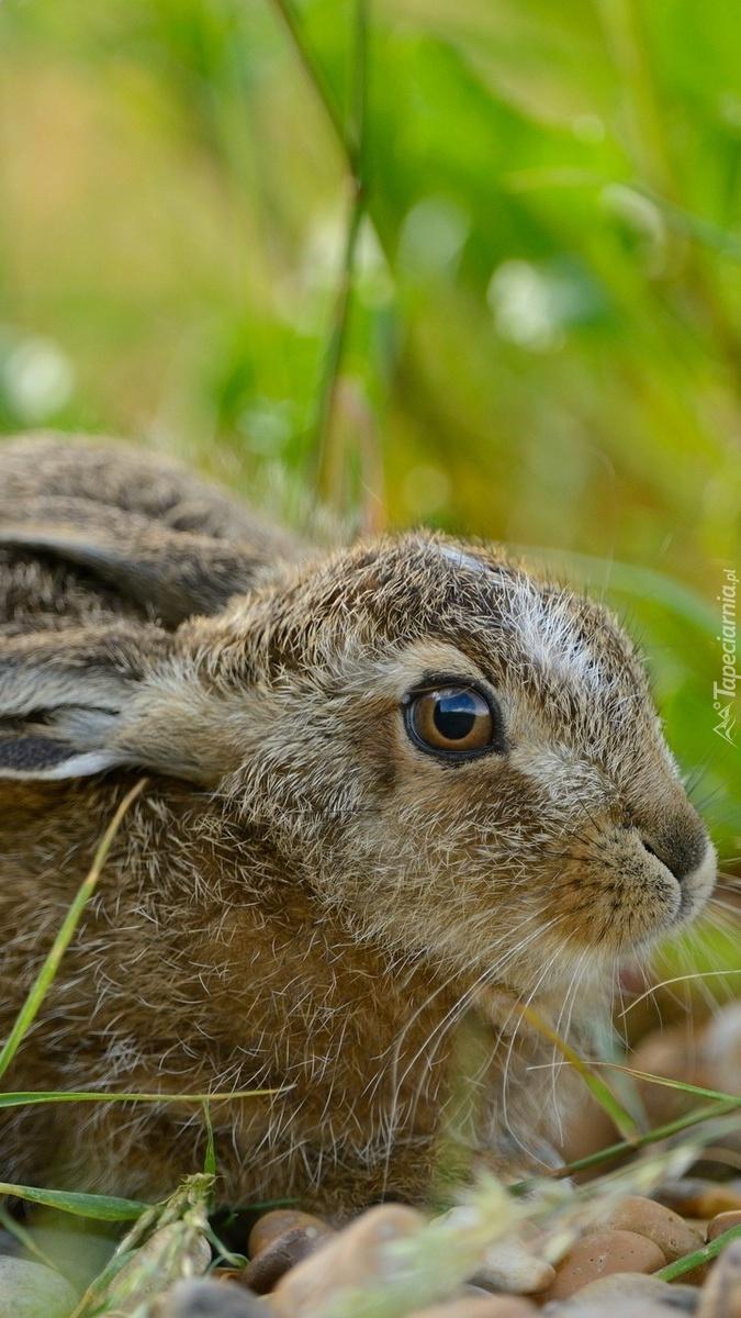 Profil wystraszonego królika