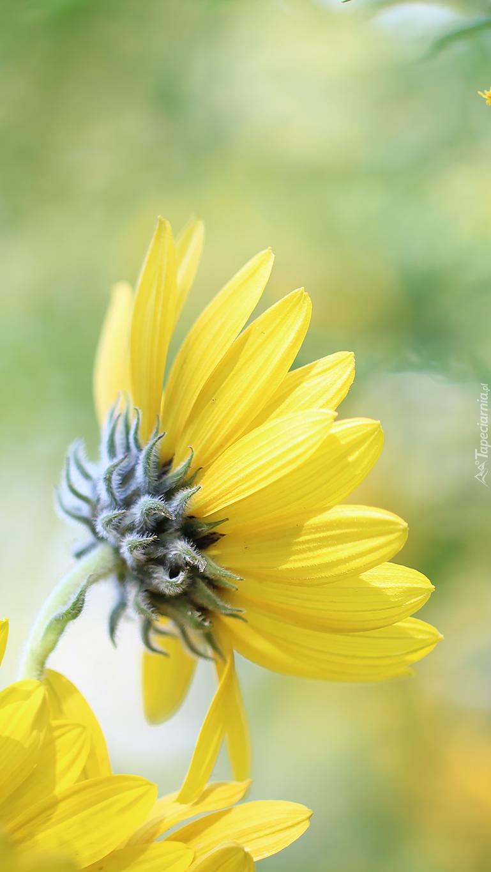 Profil żółtego kwiatka