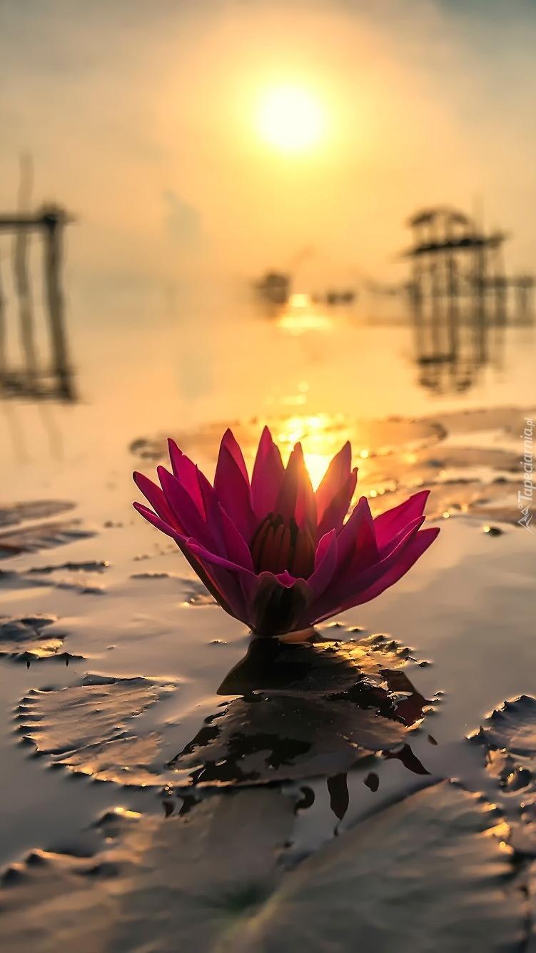Promienie słońca oświetlają lilię wodną