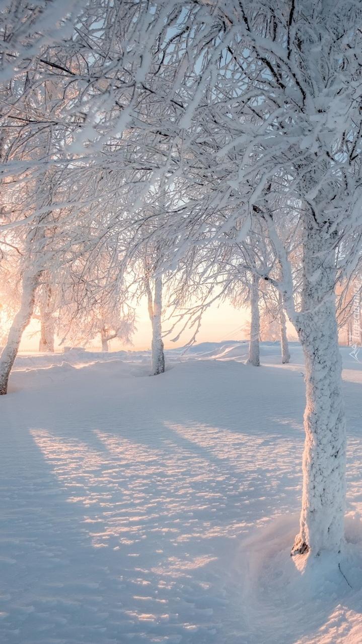Promienie słońca pośród ośnieżonych drzew